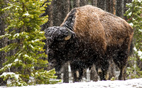Bison with Snow